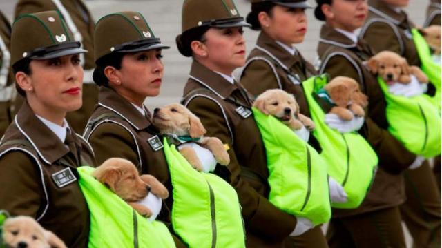 萌翻天!实拍智利阅兵典礼 小奶狗窝在女兵怀中接受总统检阅