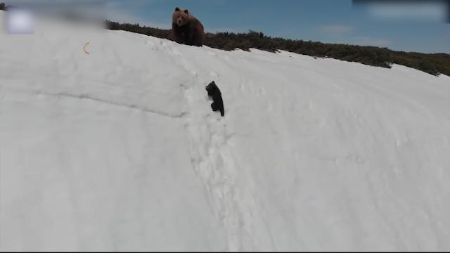 熊妈妈带仔爬雪山 小熊边爬边滑憨态万千