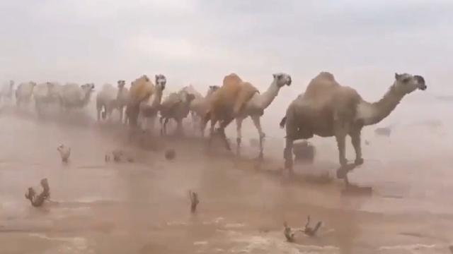 """罕见!沙漠也发""""大洪水""""成排骆驼淌水过沙漠 现场宛如人间仙境"""