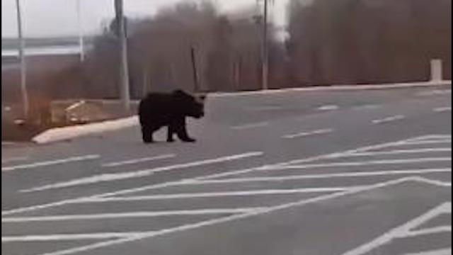 """黑龙江一公路上演""""熊出没""""还有两熊和一老虎""""在逃"""""""