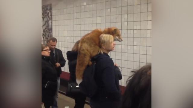 """把动物""""穿""""身上?女子肩扛狐狸 不顾路人惊讶目光淡定挤地铁"""