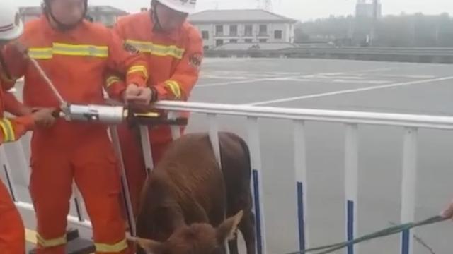 小牛误入高速被护栏卡住 求生欲满满等待救援