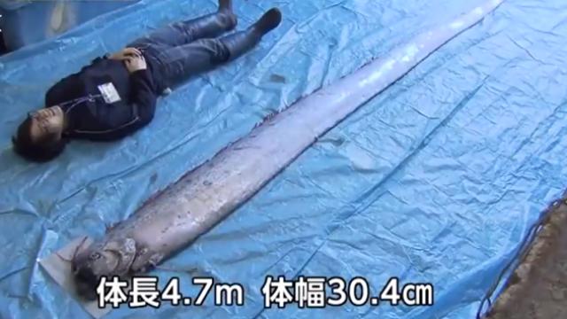 """日本真要沉?青森发现史上最大""""地震鱼"""""""
