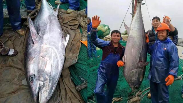 """渔民捕获127公斤大鱼 2米""""巨无霸""""价值一辆小轿车"""