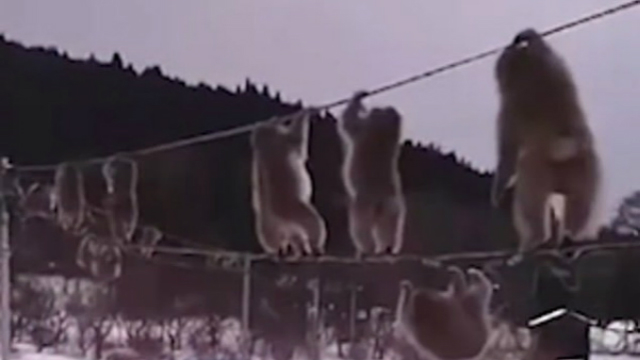 滑稽!日本猕猴群为取暖集体高空走电线