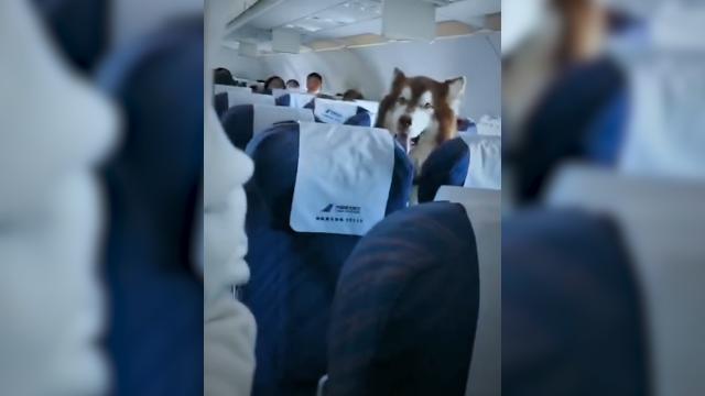 """一人高巨型犬""""坐""""飞机?涉事航空公司尚未回应"""