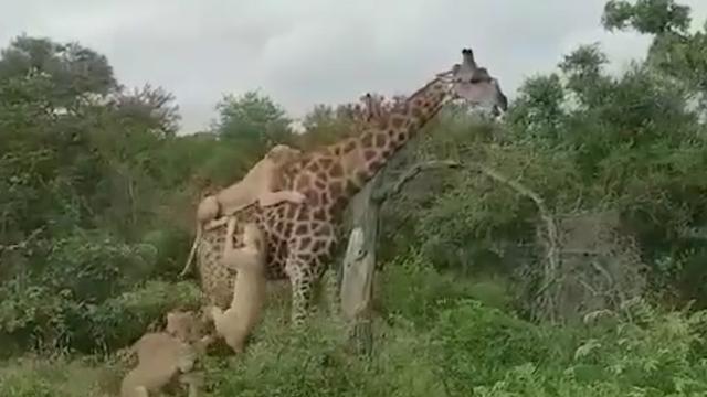 硬核撒娇?狮子耍赖挂背4小时不肯离开 长颈鹿飞起一脚将其跺跑