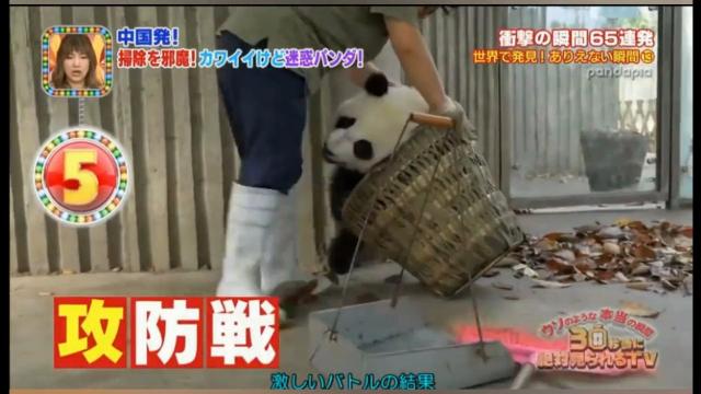 四川熊猫宝宝给奶妈捣乱在日本被关注,日本嘉宾还一脸痴汉相!