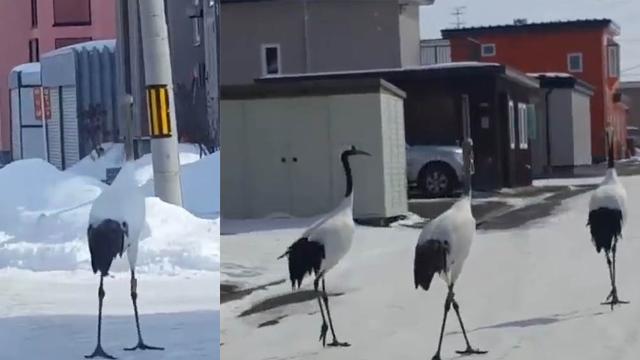 三只丹顶鹤北海道街上闲逛 网友:似三姐妹逛街
