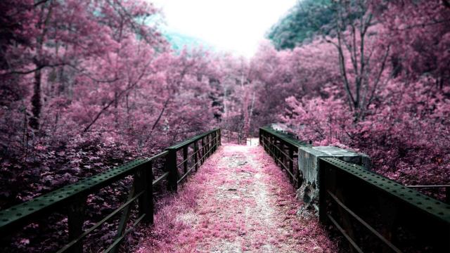 号称樱花之国的日本国花竟然不是樱花,而是它