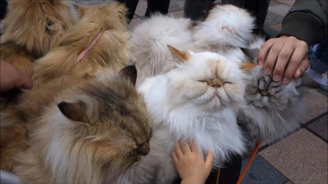"""大爷的萌点你不懂,婴儿车推10只猫主子,现实版""""猫侍""""游日本"""