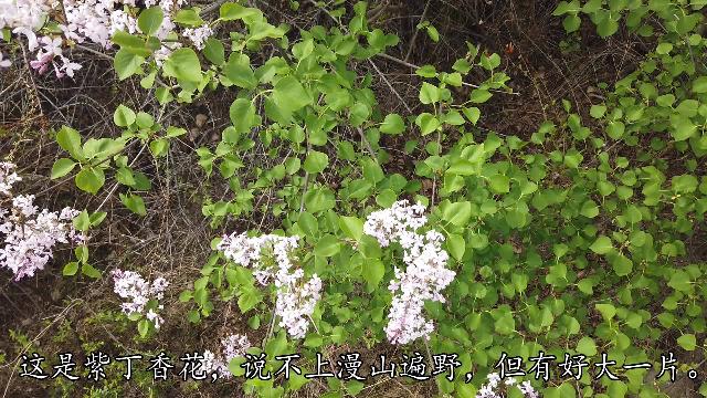 【慢生活】又是一年紫丁香花开时,挖野菜赏野花