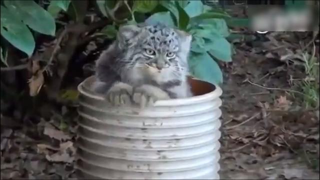 猫科动物中最呆萌的小野兽,俗称十年起步猫