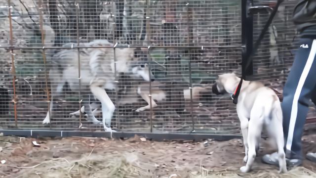 狼和狗隔着笼子吵架,20分钟解决战斗,凶猛劲拉都拉不住