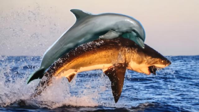 鲨鱼为什么不吃海豚?鲨鱼:真的追不上, 追上了也打不过!