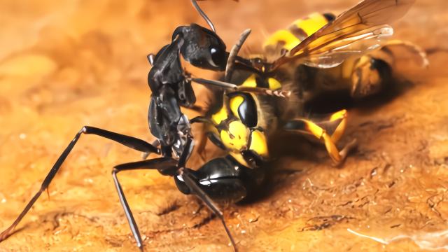 世界上最大的蚂蚁公牛蚁,无所畏惧!