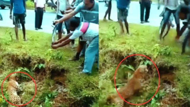 实拍:村民误认为豹子死亡上前拍照 豹子突然咆哮冲向人群