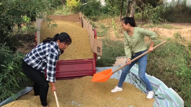 水稻丰收了,农村媳妇家1亩半水稻装了几车?婆媳高兴的合不拢嘴