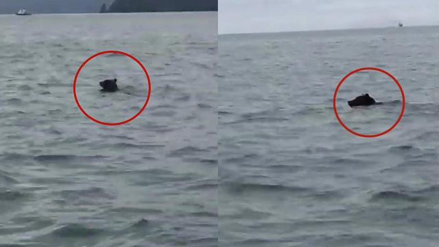 战斗民族就是不一样!俄罗斯棕熊游泳横跨3公里海湾惊呆渔民