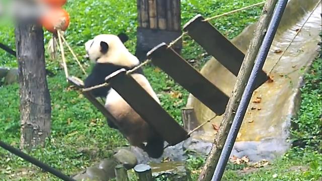 """熊猫宝宝玩秋千一不小心就""""翻车"""" 秋千:我太难了!"""