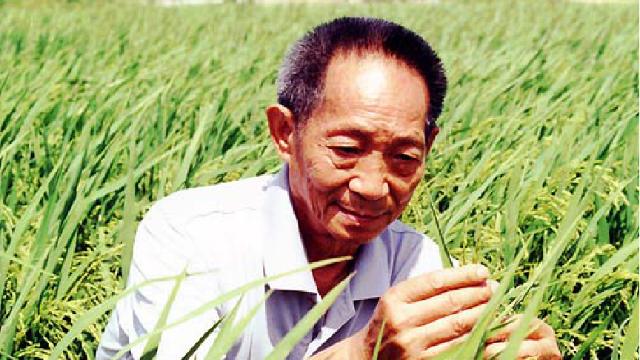 袁隆平研发的北海千亩海水稻丰收了!好吃不?