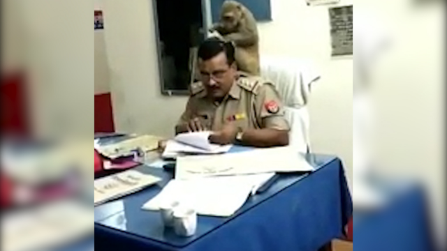 神操作!实拍印度猴子帮警察整理头发 警察面不改色专心工作
