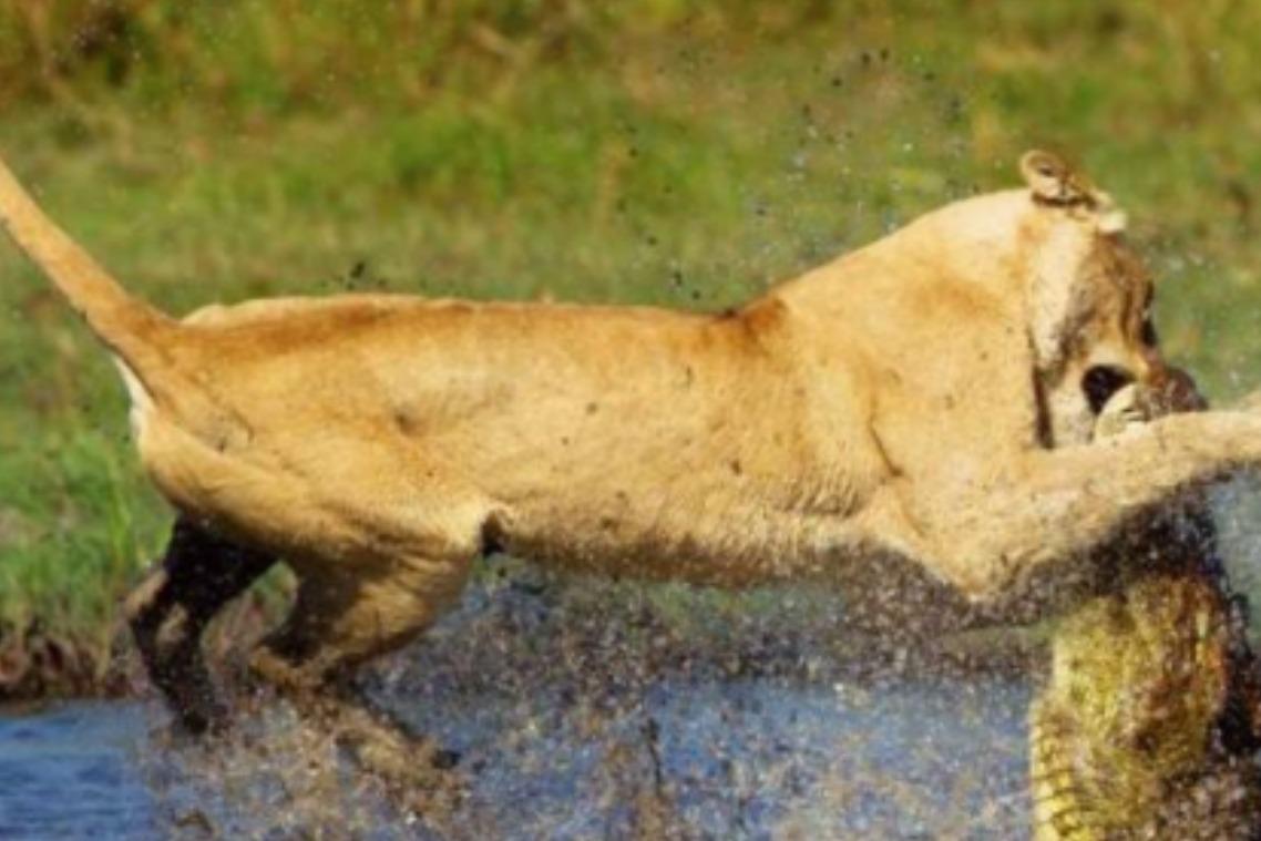 母狮被鳄鱼一口咬住,公狮拼死相救,镜头记录全过程!