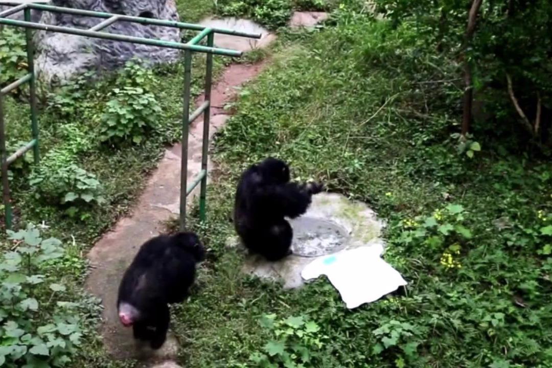 黑猩猩比你还勤劳:给饲养员洗衣服半小时意犹未尽