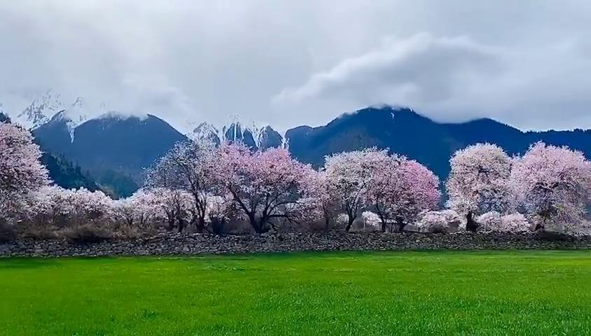 西藏林芝桃花节