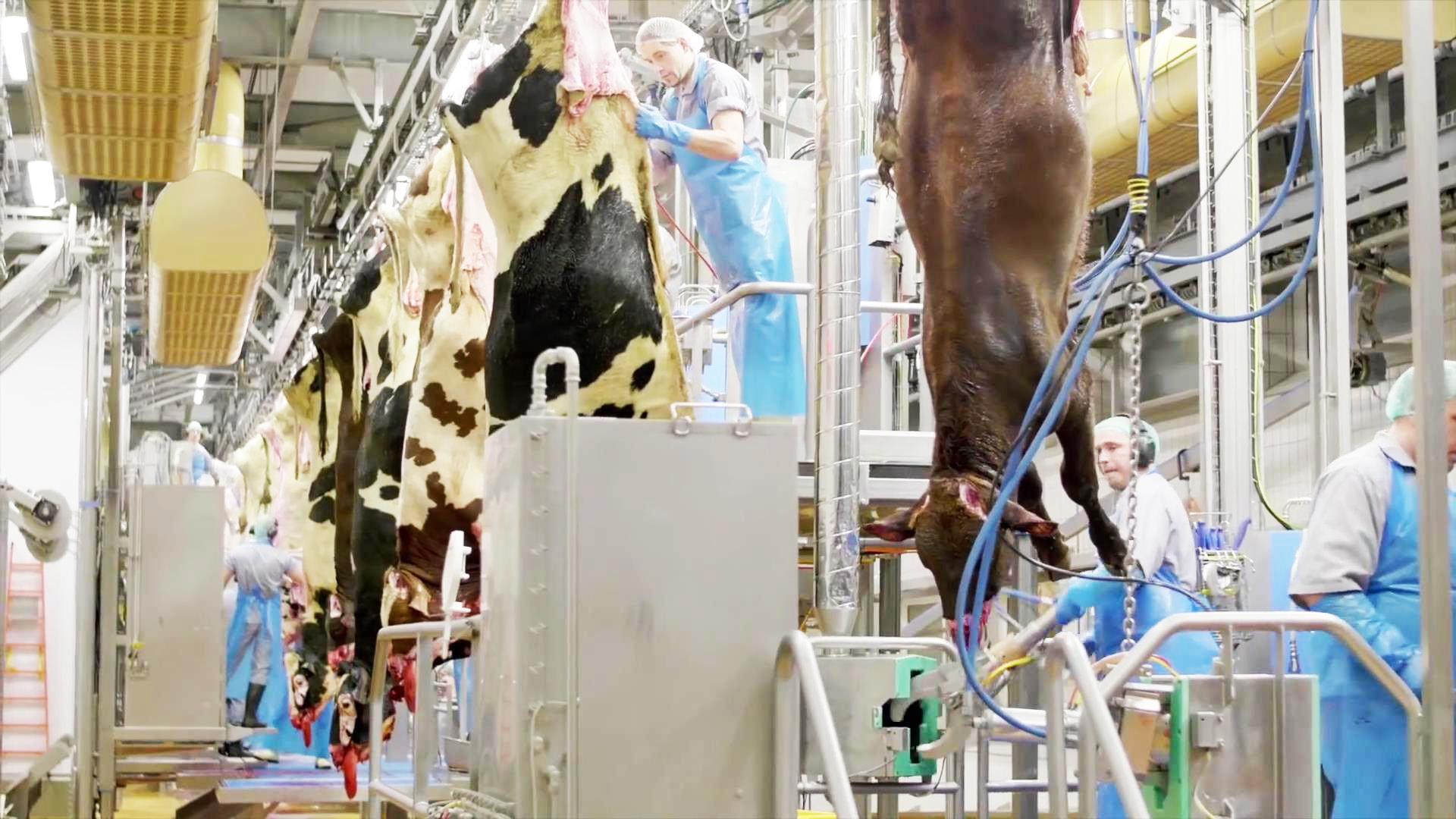 丹麦公牛现代化屠宰加工厂,看一头整牛如何变成汉堡肉饼!