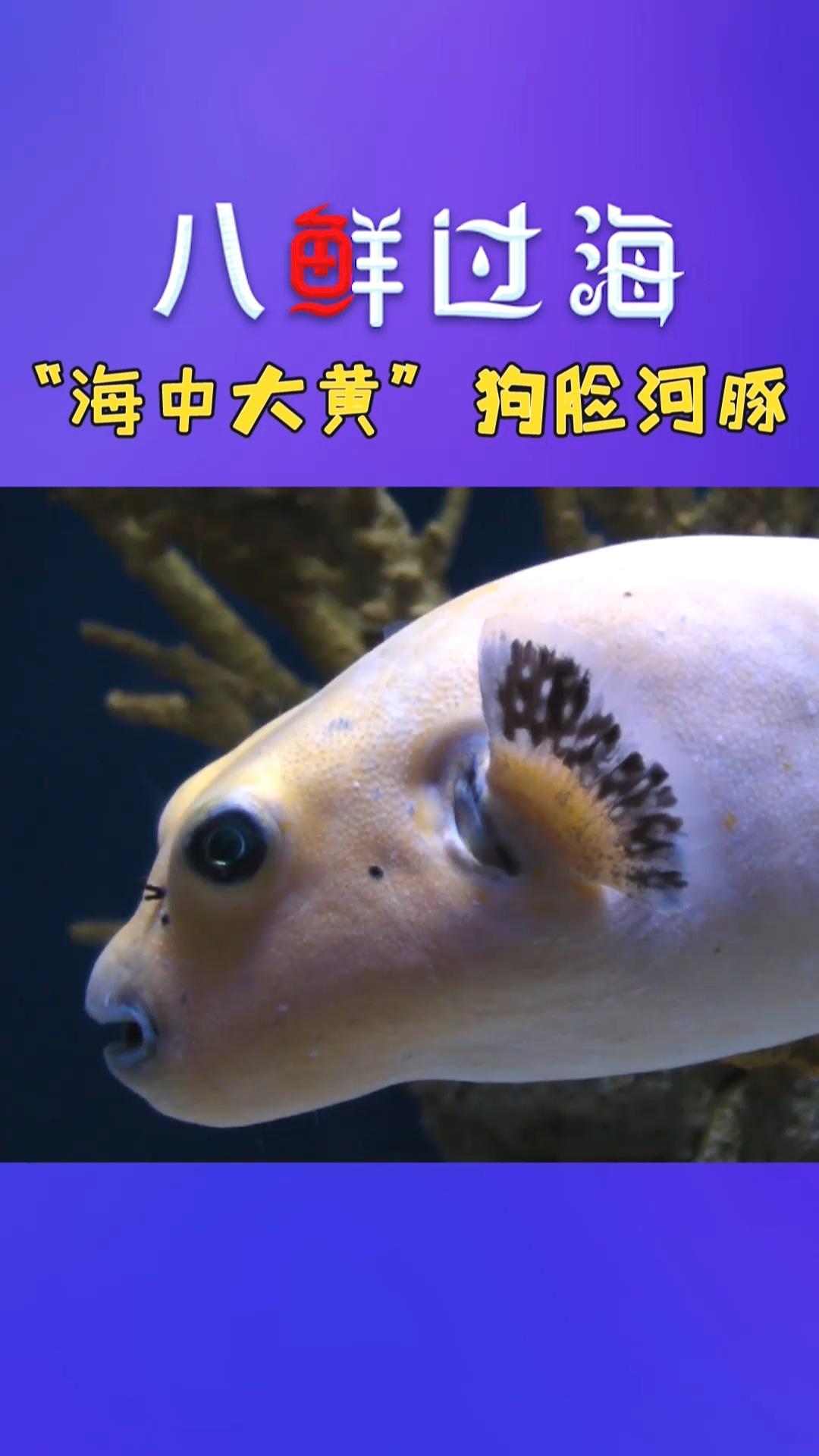 """看一眼就萌倒的""""海中大黄"""":狗脸河豚,你舍得吃吗?"""