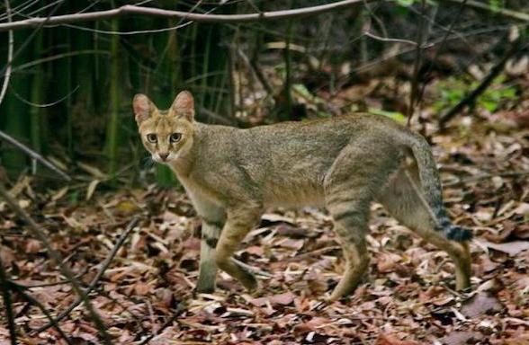 """农村消失的动物,神秘的""""野狸子""""是猫的天敌,敢跟狗斗"""