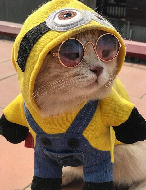 近日,越南一只可爱的宠物猫因身穿黄色帝王风格小袍子在鱼摊卖鱼而