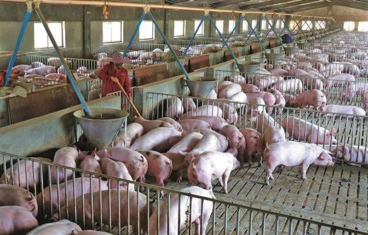 国办:加强非洲猪瘟防控 加大对生猪生产发展政策支持力度