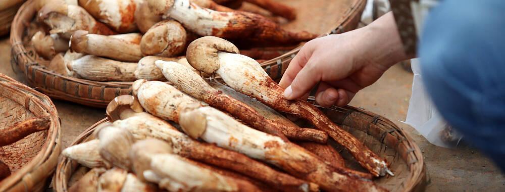 云南最后半个月的菌菇季 这些菌子的八卦故事你听过吗? | 钱柜娱乐老虎机