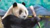 """两岸关系不好 台媒声称台大熊猫赴陆""""找对象""""遭拒"""