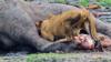 群鱷和獅子蠶食兩大象尸體