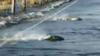 高速路被淹 现鲑鱼逆流而上过路