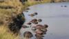 400头水牛疑因躲避狮群集体溺亡