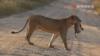 狮子咬住大象脸部 下一秒狮子可惨了最后落荒而逃
