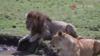 雌狮发情!雄狮接下来的举动让母狮好尴尬