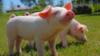养猪巨头开启抢仔猪大战,一头猪盈利超2300元