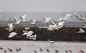 永修县吴城候鸟小镇进入最佳观鸟季 游客纷至沓来