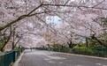 人山人海 青島中山公園櫻花盛放引數十萬游客賞櫻游園