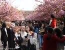 每日数万人涌入中科大赏樱花,校方不堪其扰闭门谢客