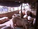 猪联网3.0,智能商业时代的智慧养猪新方向