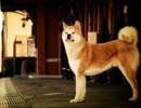 秋田犬因逃离山火走失 101天后与主人重逢