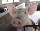 双汇确认猪瘟病猪未制成肉制品 农业农村部:追查源头