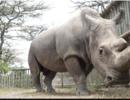 北方白犀牛最后的雄性死亡,这个物种还能延续下去吗?