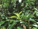 为什么普洱茶原料是云南大叶种晒青毛茶?